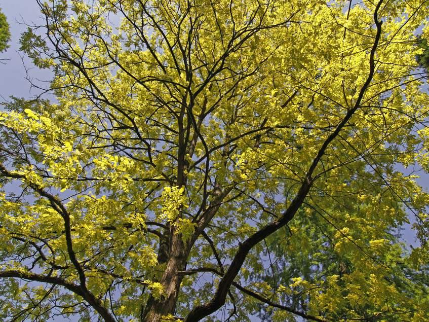 tavaszi akáclomb
