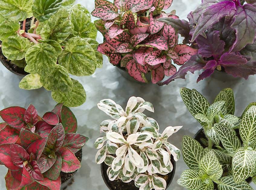 alacsony termetű növenyek floráriumba