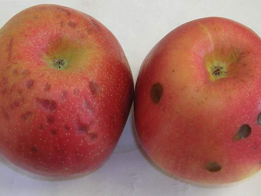 alma keserűfoltosság