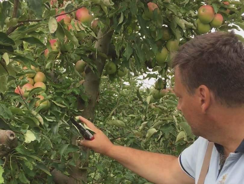 alma zöldmetszése