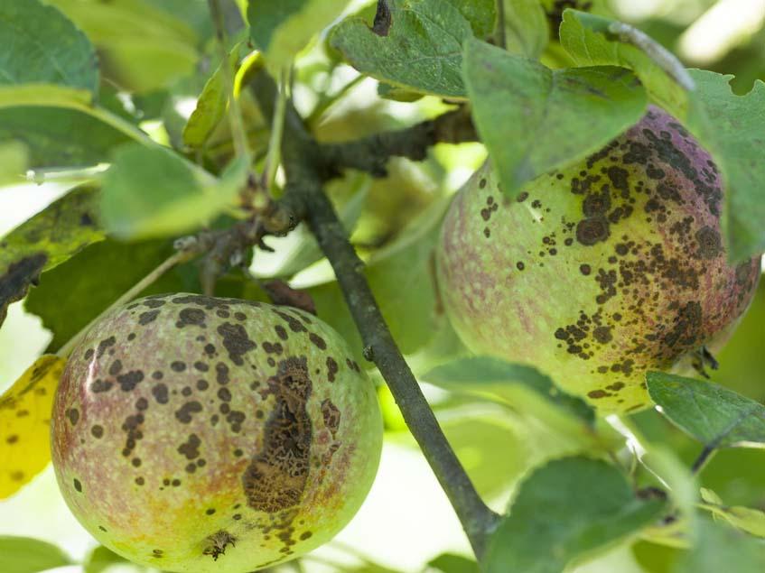 alma varasodás