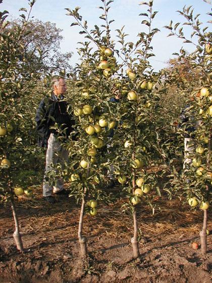 alma szuperorsó koronaforma