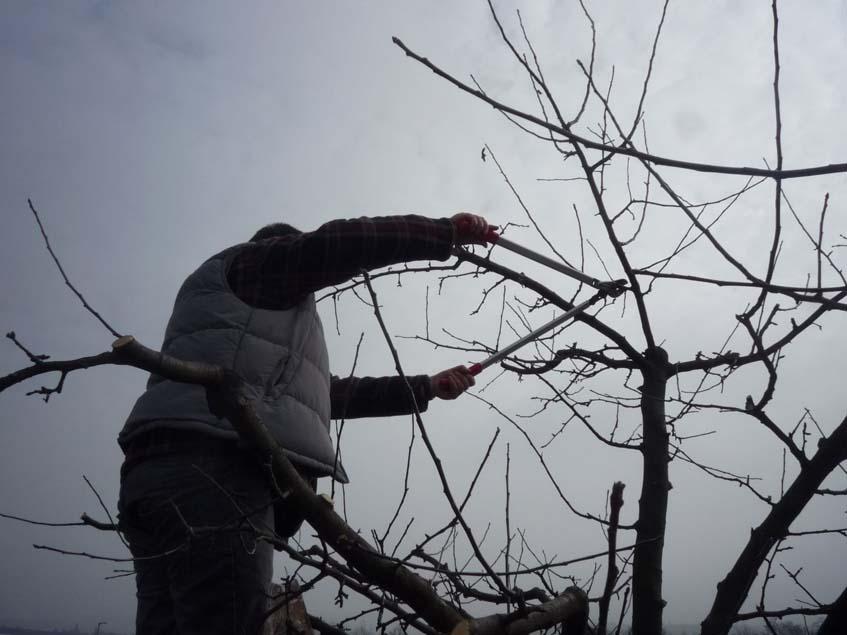 almafa-metszése