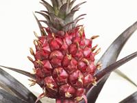 piros ananász