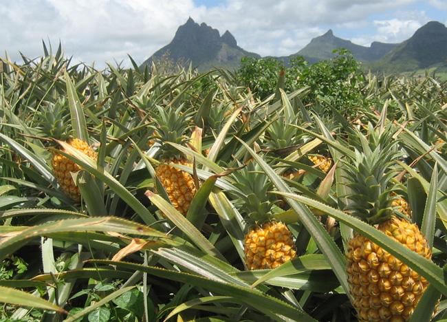 ananászföld
