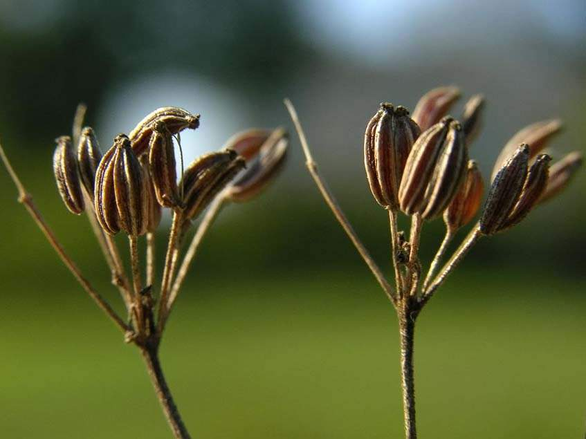 ánizs termése