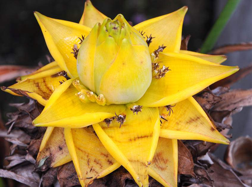 arany lótuszbanán virágzata közelről