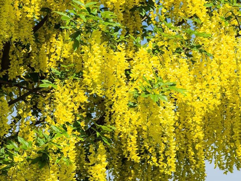 aranyeső virágzuhatag