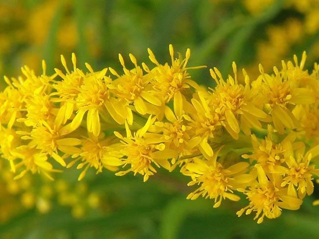 aranyvessző virága