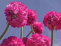 tengerparti pázsitszegfű fejecske virágzata