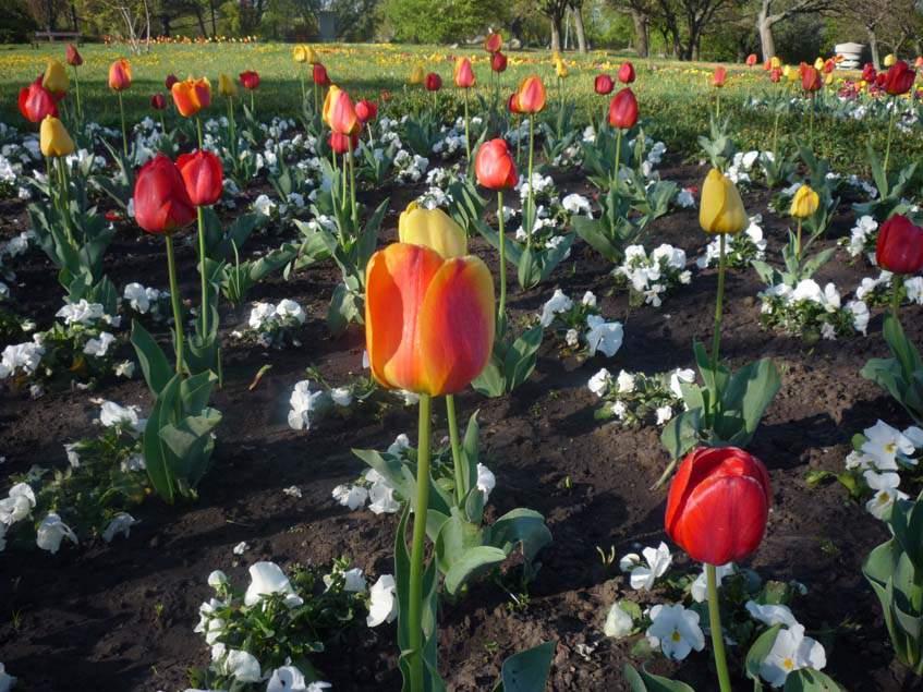 árvácska tulipánnal összeültetve