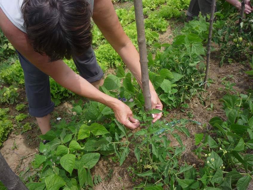 paradicsom kötözés, bokorbab szomszédságában