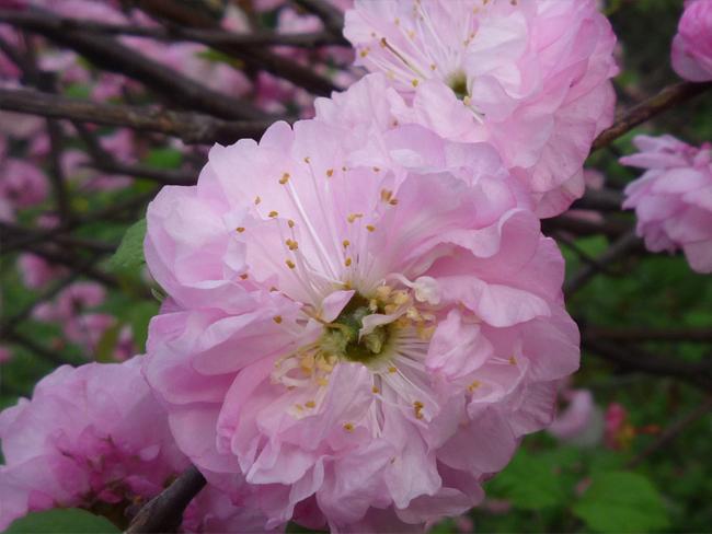 babarózsa virág