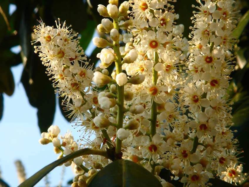 babérmeggy virágzat