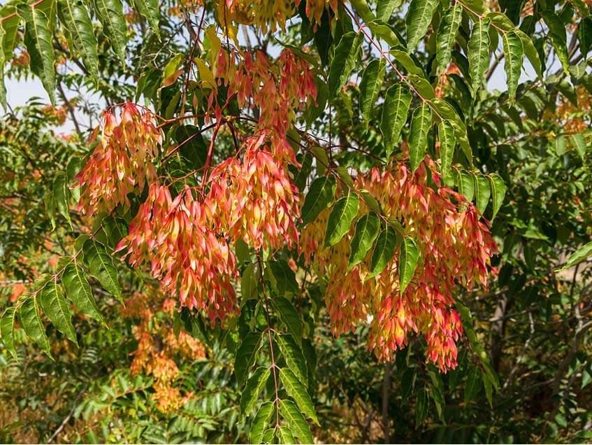 bálványfa terméssel