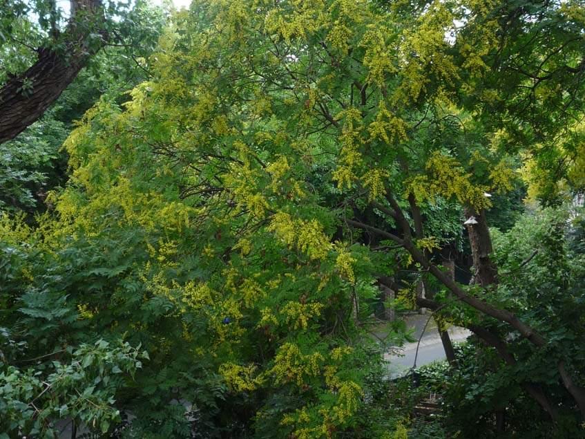 csorgőfa