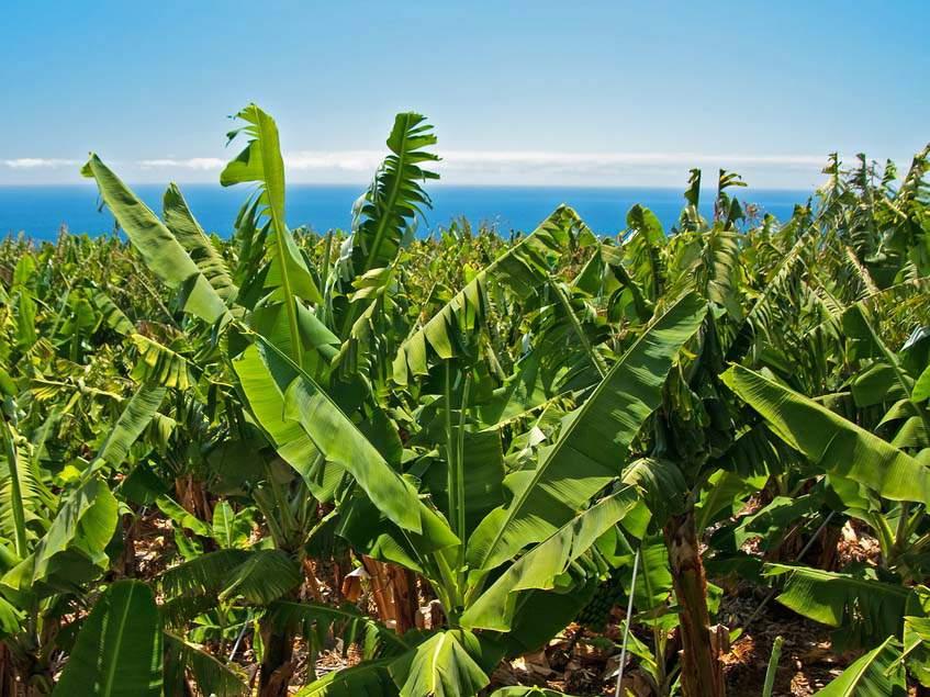 banánpálmák