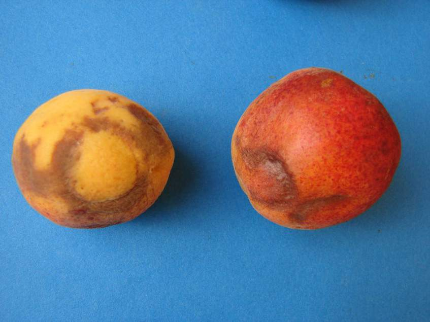 barna elszíneződés a gyümölcshéjon