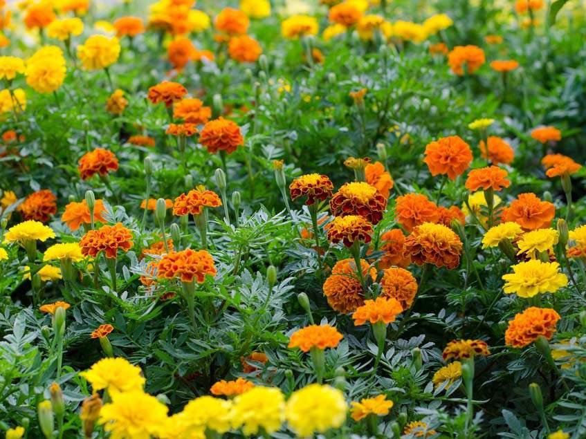 bársonyvirágok