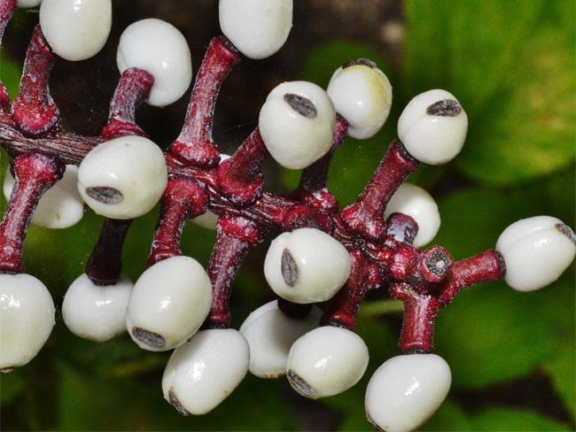 fehér békabogyó terméses hajtása