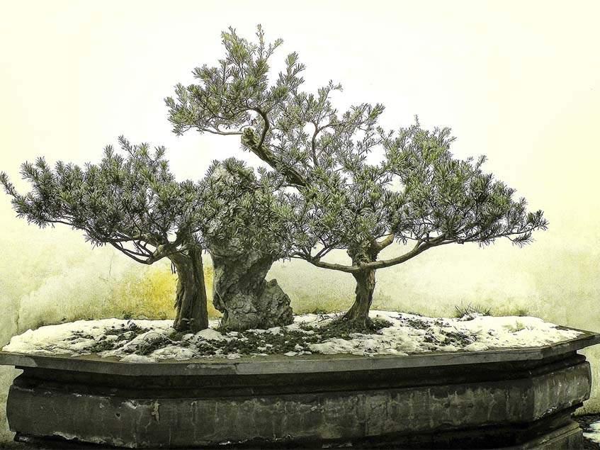 télálló bonsai