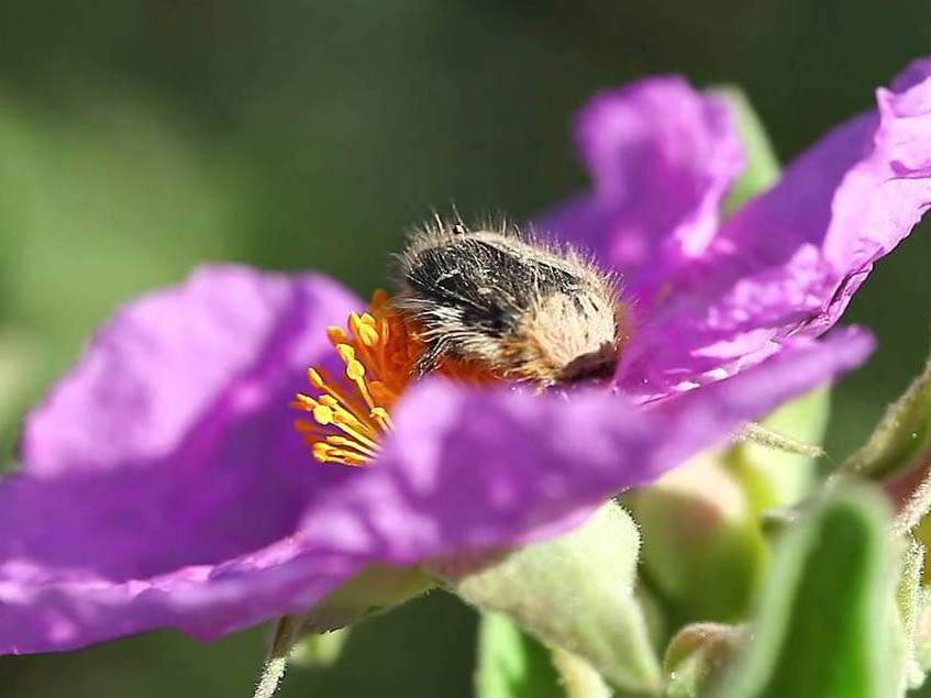 bundásbogár rózsán