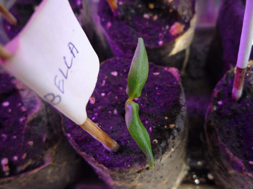 Cascabella chili csíranövény
