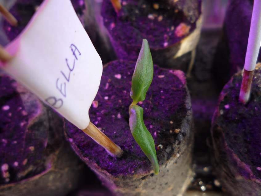 Cascasbella chili csíranövény