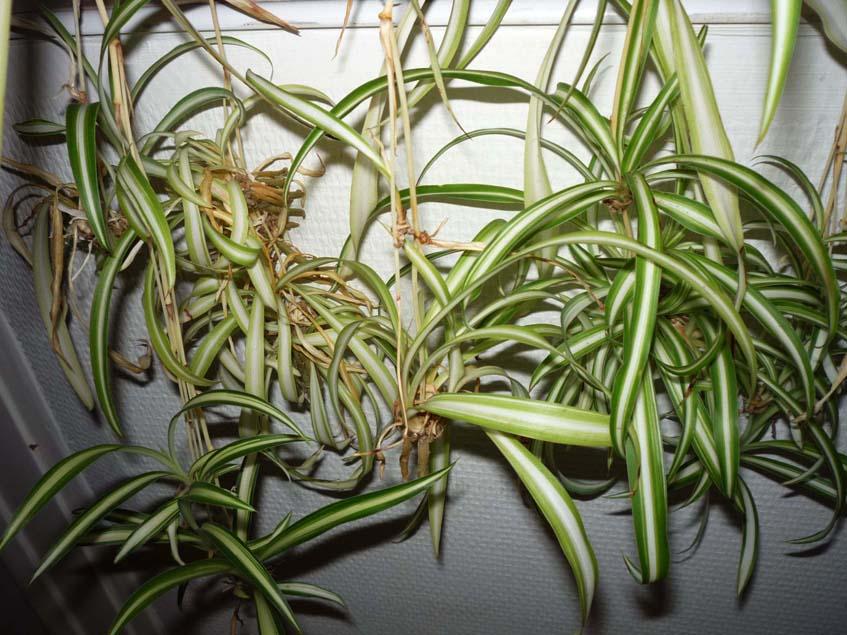 zöldike sarjnövények