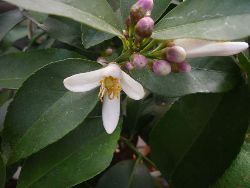 citromfa virága