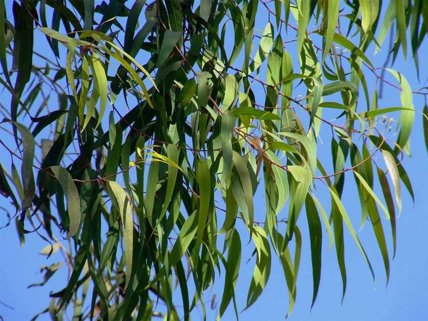citromos eukaliptusz