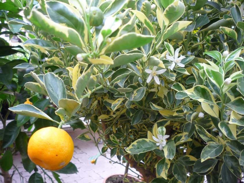 tarka mandarin