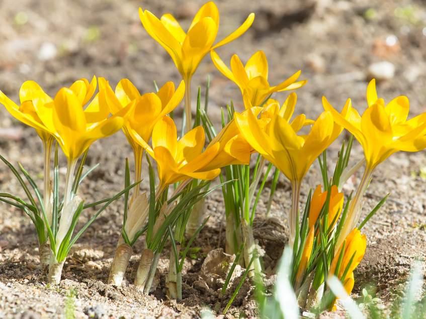 sárga sáfrány