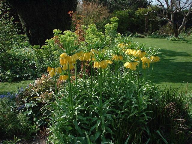 császárkorona a kertben