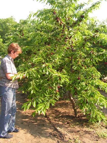 5 éves cseresznye, orsó koronára alakítva