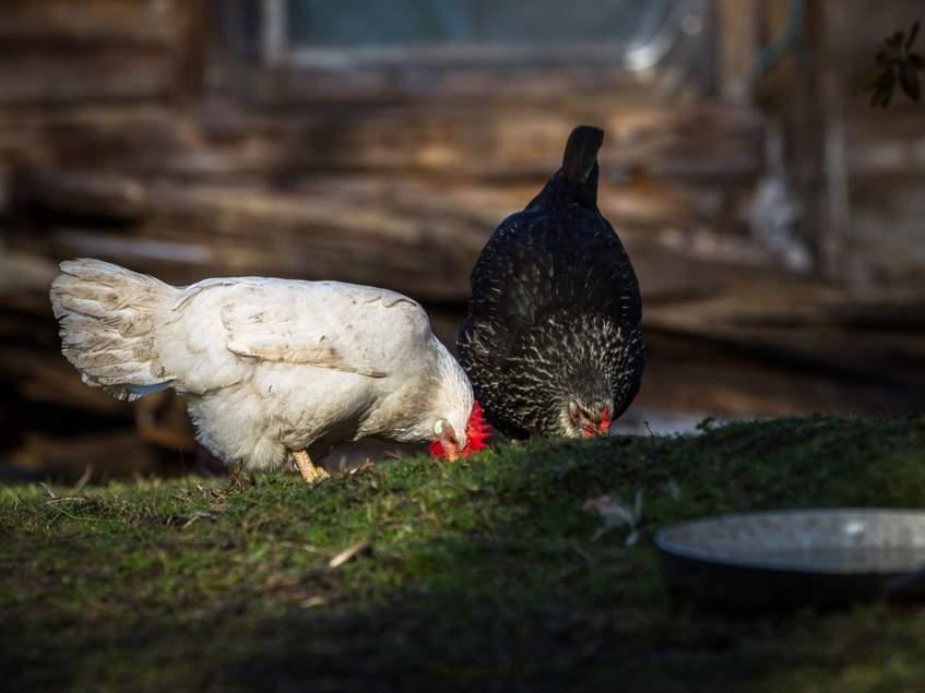 csirkék a kertben