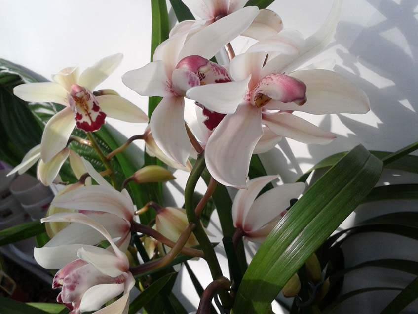 csónakorchidea hibrid