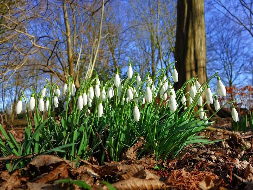 csoportosan nyíló hóvirágok