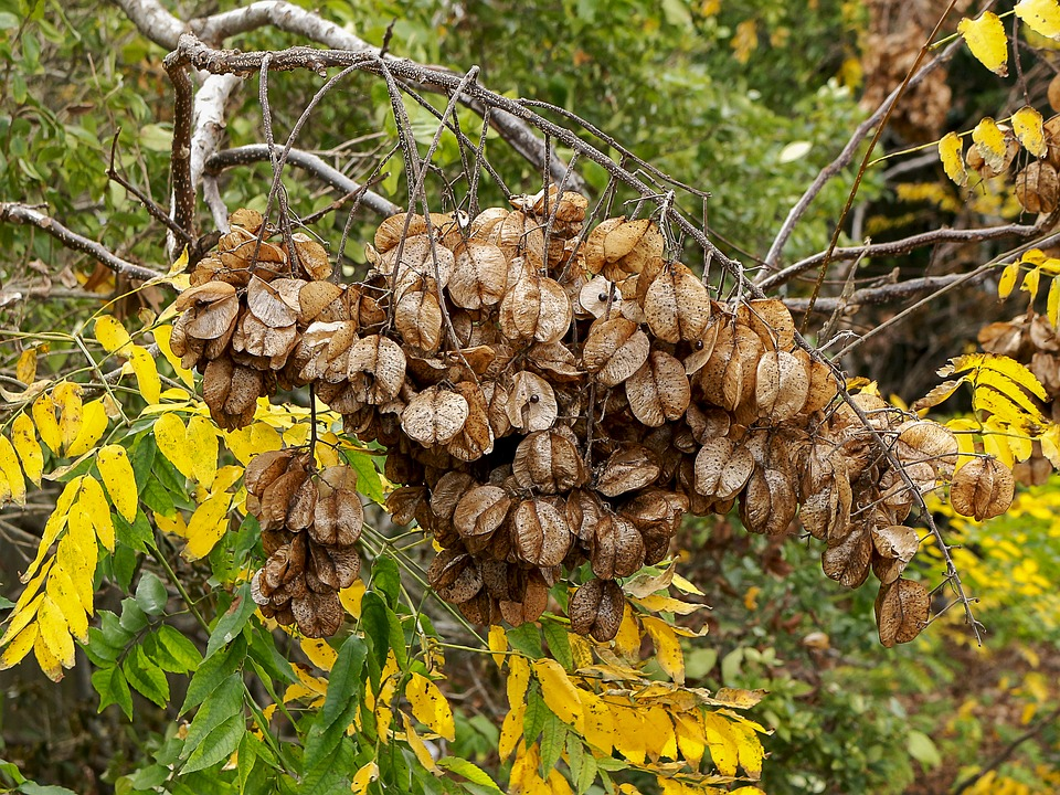 csörgőfa terméssel