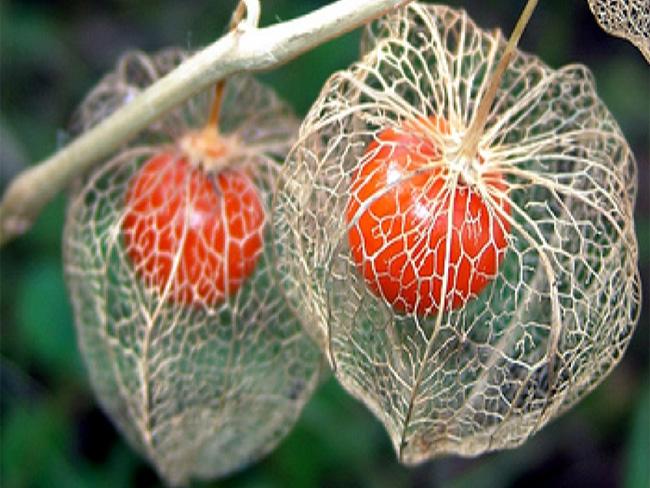 lampionvirág érett termései
