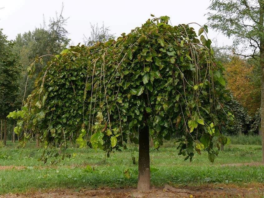 csüngő ágú eperfa