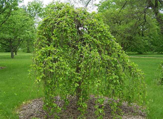 csüngő eperfa