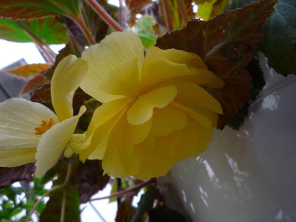 csüngő teltviragú begonia