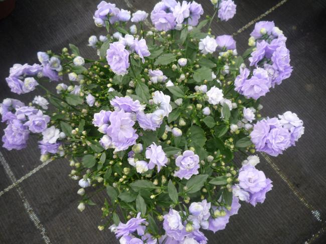telt virágú dalmát harangvirág