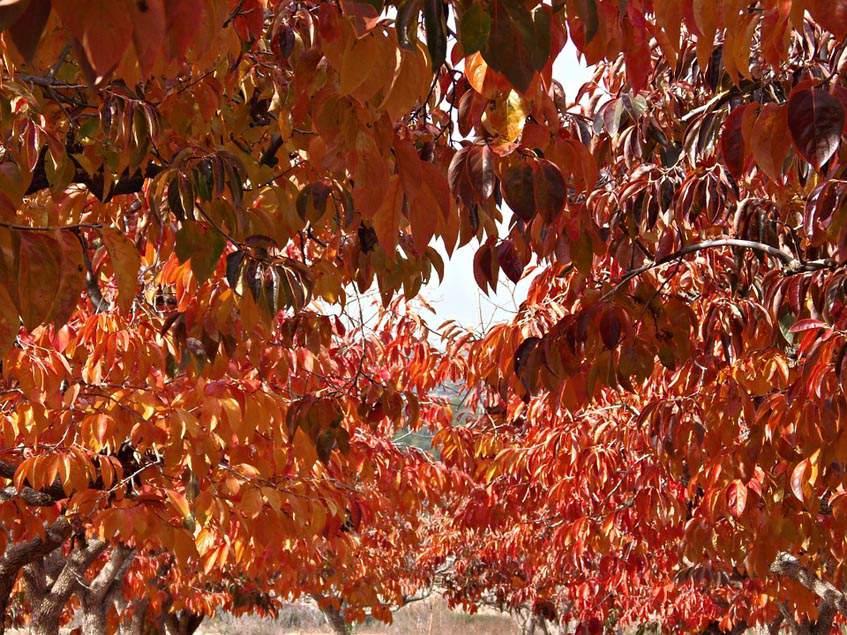 datolyaszilva őszi lombszíne