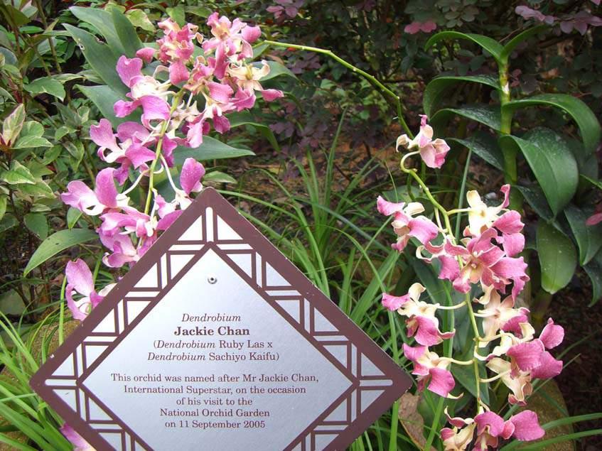 Dendrobium Jackie Chan