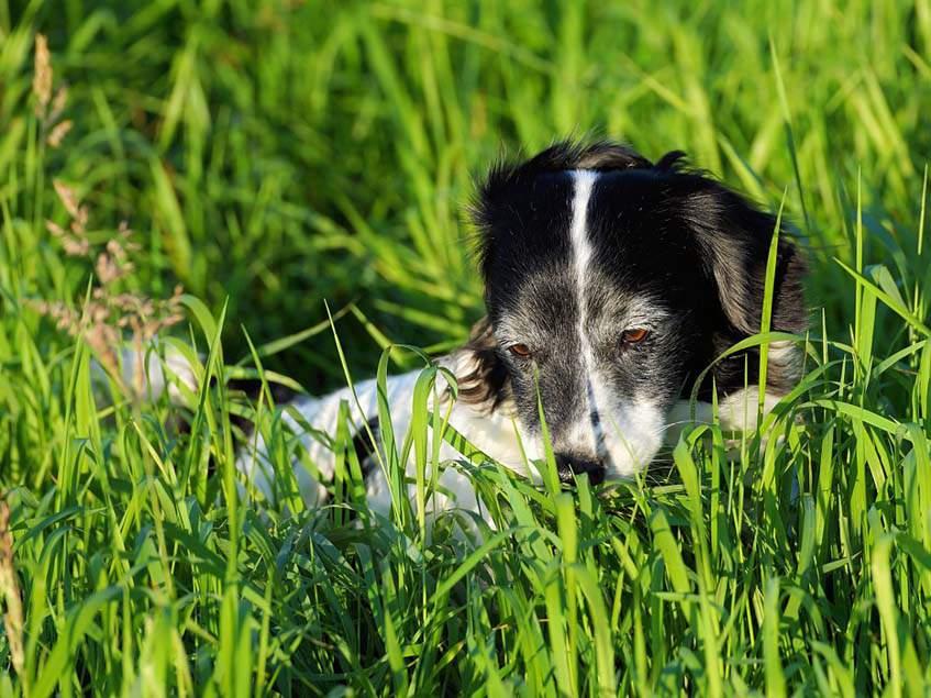 kutya a fűben