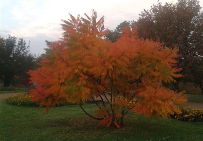 ecetfa őszi lombszíne