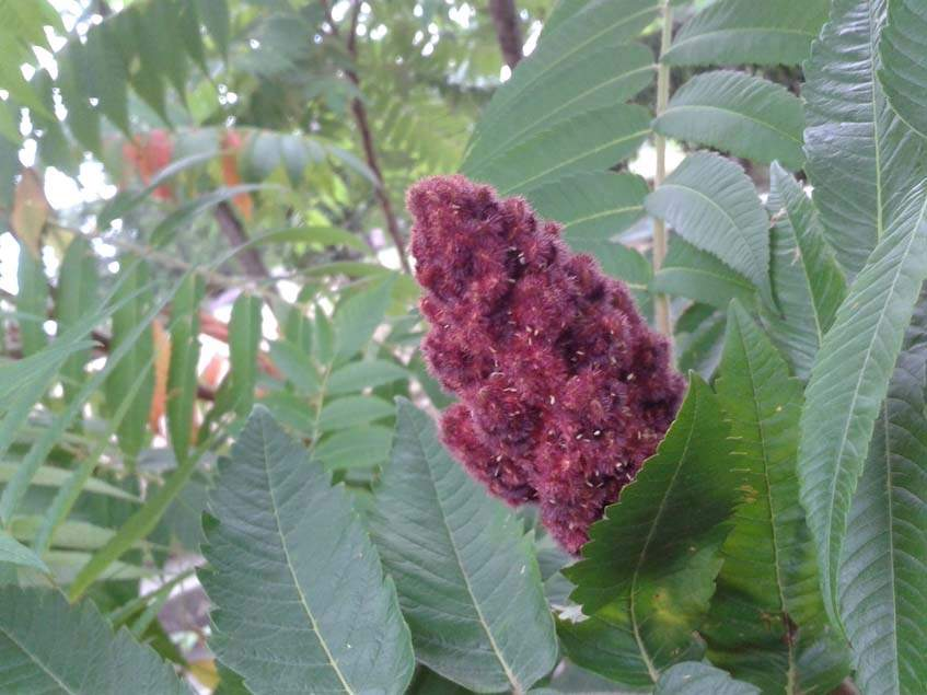 ecetfa termése