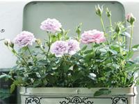 ehető rózsák